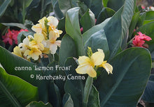 Load image into Gallery viewer, canna 'Lemon Frost'