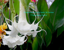 Load image into Gallery viewer, brugmansia 'Lovely Lady'