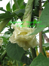 Load image into Gallery viewer, brugmansia 'Magnifique'