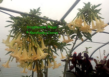 Load image into Gallery viewer, brugmansia 'Maya'