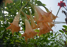 Load image into Gallery viewer, brugmansia 'Mia Variegata'