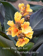 Load image into Gallery viewer, canna 'Midnight Sun'