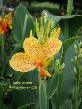 Load image into Gallery viewer, canna 'Mineola'