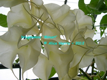 Load image into Gallery viewer, brugmansia 'Minuet'