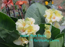 Load image into Gallery viewer, canna 'Miss Daisy'