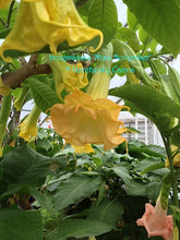 Load image into Gallery viewer, brugmansia 'Miss November'