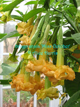 Load image into Gallery viewer, brugmansia 'Miss October'