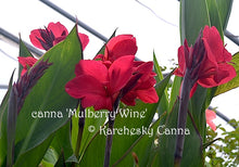 Load image into Gallery viewer, canna 'Mulberry Wine'