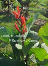 Load image into Gallery viewer, canna 'Musafolia'