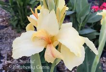 Load image into Gallery viewer, canna 'Natalie'