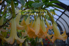 Load image into Gallery viewer, brugmansia 'Neu Ocre'