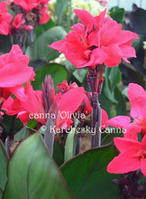 Load image into Gallery viewer, canna 'Olivia'
