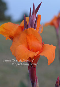 canna 'Orange Beauty'