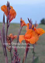 Load image into Gallery viewer, canna 'Orange Beauty'