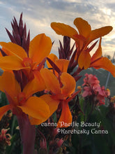 Load image into Gallery viewer, canna 'Pacific Beauty'