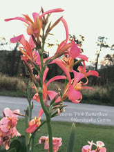 Load image into Gallery viewer, canna 'Pink Butterflies'