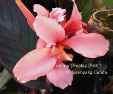 Load image into Gallery viewer, canna 'Picotee Pink'