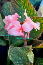 Load image into Gallery viewer, canna 'Pink Sunburst'