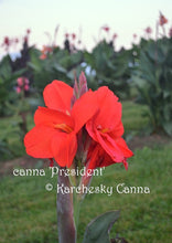 Load image into Gallery viewer, canna 'President'