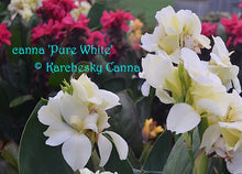 Load image into Gallery viewer, canna 'Pure White'