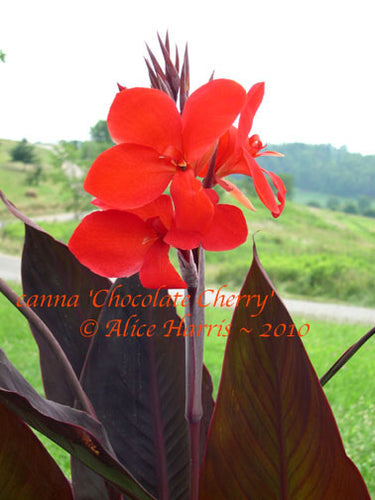 canna 'Chocolate Cherry'