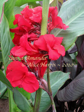 Load image into Gallery viewer, canna 'Amanda'