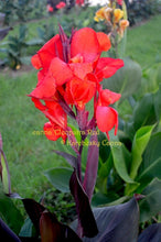 Load image into Gallery viewer, canna 'Cleopatra Red'