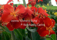 Load image into Gallery viewer, canna 'Richard Rehg'