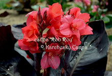 Load image into Gallery viewer, canna 'Rob Roy'