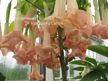 Load image into Gallery viewer, brugmansia 'Rosalao'