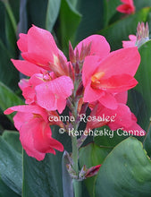 Load image into Gallery viewer, canna 'Rosalee'