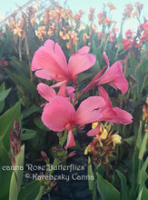 Load image into Gallery viewer, canna 'Rose Butterflies'
