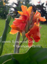 Load image into Gallery viewer, canna 'Rosemond Cole'