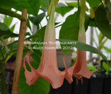 Load image into Gallery viewer, brugmansia 'Rosenquartz'