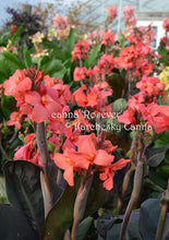 Load image into Gallery viewer, canna 'Rosever'