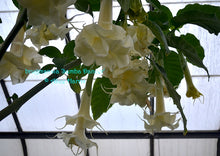 Load image into Gallery viewer, brugmansia 'Samba Dancer'