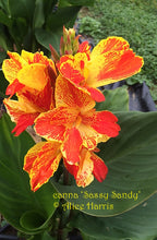 Load image into Gallery viewer, canna 'Sassy Sandy'