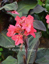 Load image into Gallery viewer, canna 'Satine'