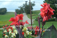 Load image into Gallery viewer, canna 'Savannah'