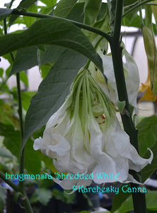 brugmansia 'Shredded White'