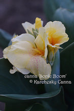 Load image into Gallery viewer, canna 'Sonic Boom'