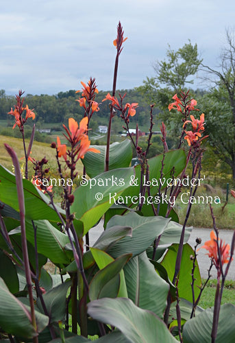 canna 'Sparks and Lavender'