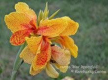 Load image into Gallery viewer, canna 'Star Spangled'