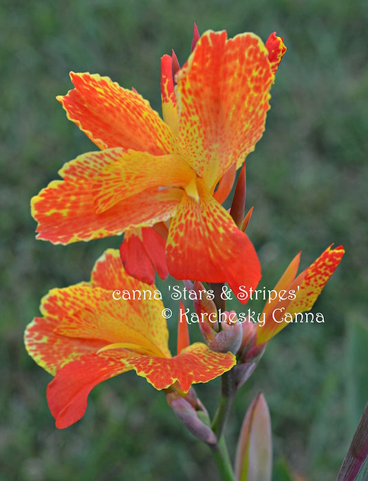 canna 'Stars and Stripes'