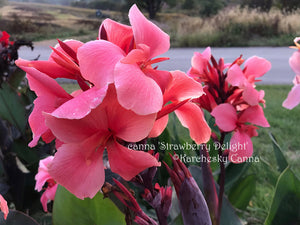 canna 'Strawberry Delight'