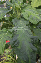 Load image into Gallery viewer, brugmansia 'SubLime'