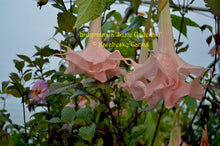 Load image into Gallery viewer, brugmansia 'Suzie Underhill'