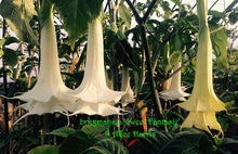 Load image into Gallery viewer, brugmansia 'Sweet Fantasie'