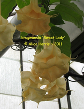 Load image into Gallery viewer, brugmansia 'Sweet Lady'