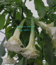 Load image into Gallery viewer, brugmansia 'Sweetheart'